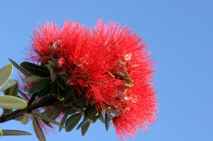 Pohutukawa -  New Zealand Christmas Tree
